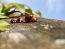 Lentekolder of lentekriebels? De natuur heeft de lente in z'n bol, constateerde Jolanda Bakker uit Zevenhuizen tijdens een  achtertuinsafari.