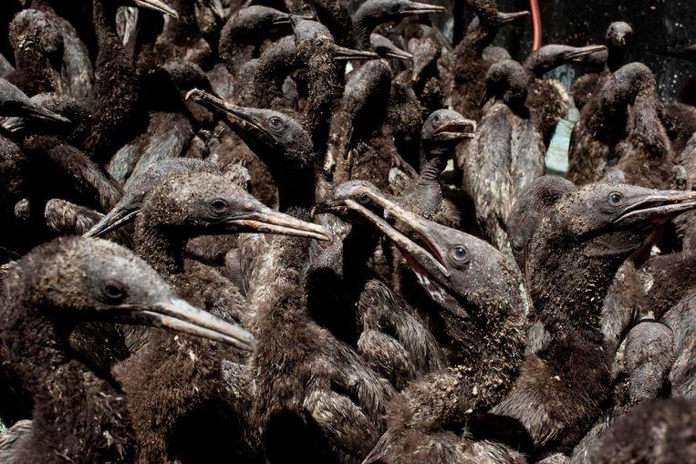 Jonge Kaapse aalscholvers worden in Kaapstad opgevangen nadat ze door hun ouders op Robbeneiland alleen zijn achtergelaten. De ouders lieten hun kroost waarschijnlijk in de steek vanwege een gebrek aan voedsel in de omliggende zee.  Beeld AFP