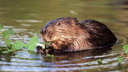 Beverpopulatie rukt verder op in de Denderstreek: Binnenkort beverburchten in natuurgebied Honegem?