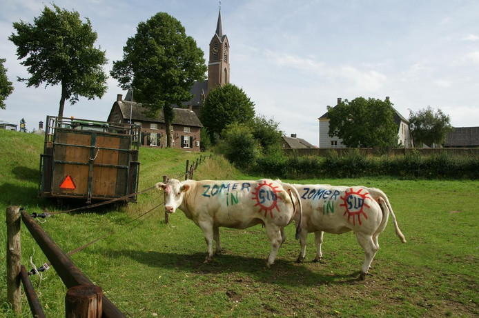 Zelfs enkele koeien in het weiland van Rinus van Mil konden niet aan 'de zomerkoorts' in het dorp ontsnappen