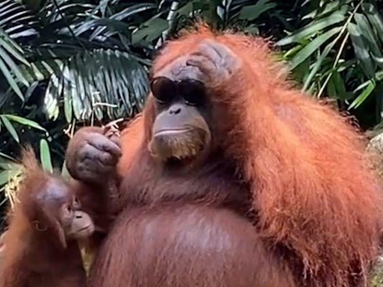 Orang-oetan zet verloren zonnebril van dierentuinbezoeker op