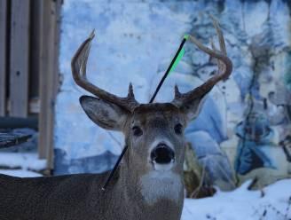 """Fotografe volgt al drie jaar Canadees hert: """"Vandaag kwam het naar mijn huis met een pijl door zijn kop"""""""
