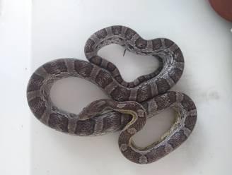 Ieperling die slangen houdt, krijgt boete voor inbreuken op dierenwelzijn