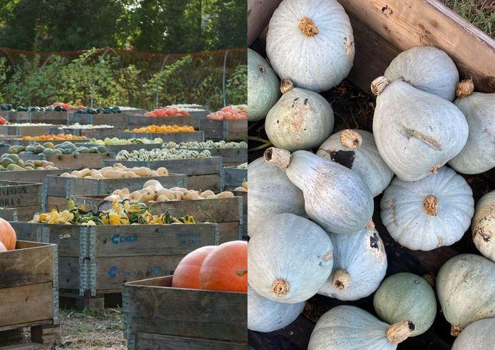150 variétés de cucurbitacées sont exposées à la Potironnerie.