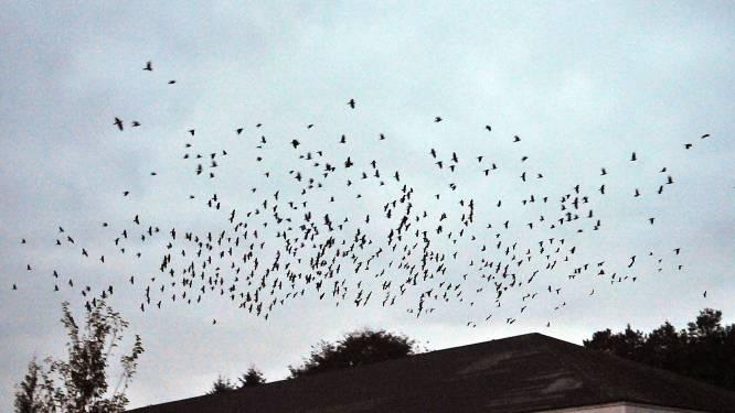 Jagers moeten zwerm kraaien in toom proberen krijgen na vernielingen op weilanden rond Mollentstraat