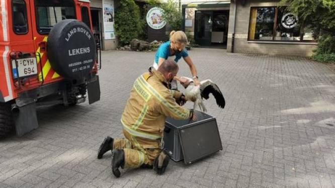 Jonge ooievaar probeert uit te vliegen, maar maakt een plons: brandweer kan hem redden