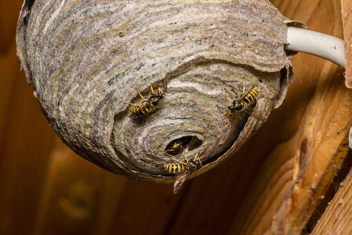 Wespen bouwen hun nest.