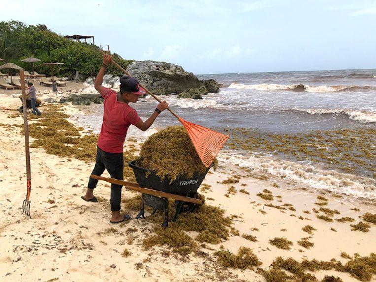 Het opruimen van de algenplaag gebeurt vooralsnog provisorisch. De overheid voelt zich nog niet geroepen om de zaak op te pakken.  Beeld Justin Sullivan / Getty