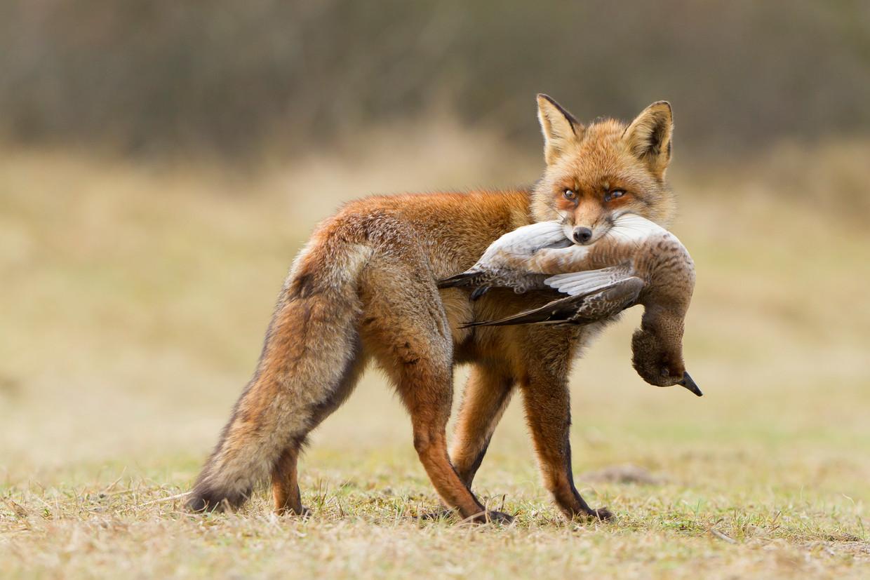 Een vos met een eend.