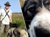 Roemeense honden beschermen Veluwse schapen tegen wolven: ze springen overal tussen