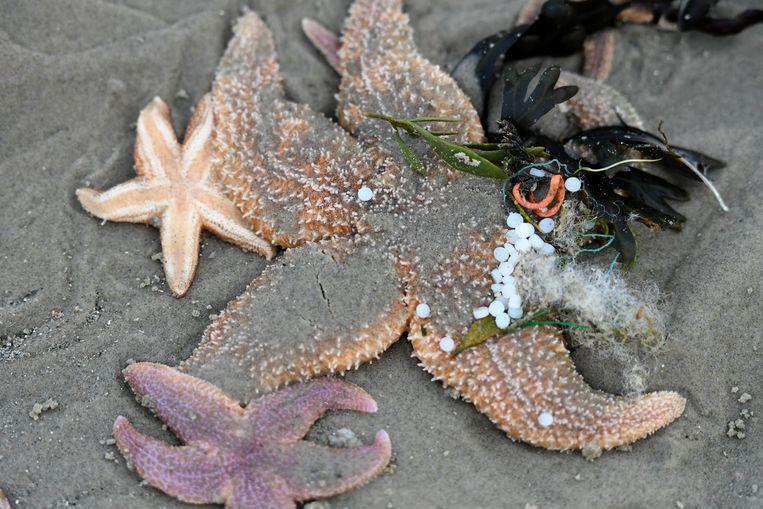 Tussen de zeesterren liggen aangespoelde plastic balletjes. Beeld Getty Images
