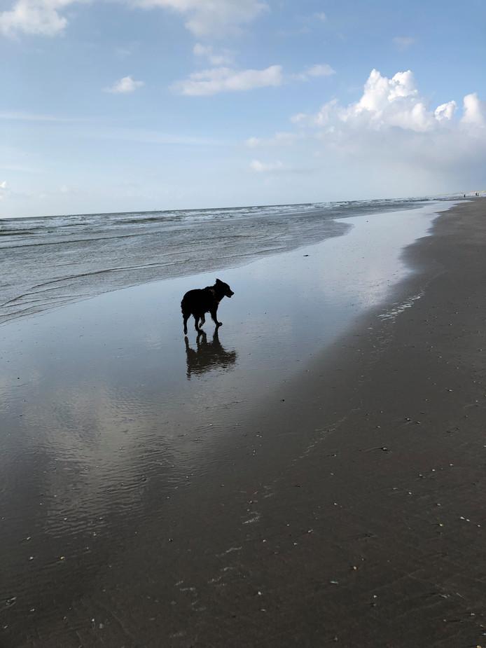 Tja, het is dan wel niet zo warm en zonnig de afgelopen dagen, maar een wandeling over het strand kan natuurlijk altijd. Hond Liena geniet volop van Wijk aan Zee.