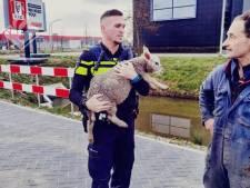 Politie rent lam achterna op Wippolderlaan