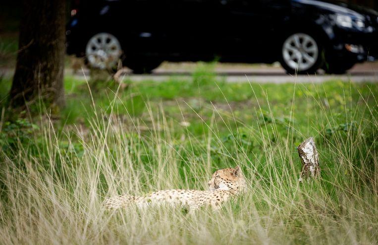 Een jachtluipaard in het verblijf in safaripark Beekse Bergen. Beeld ANP