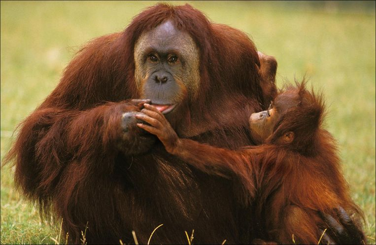 Orang Outan, pongo pygmaeus, Femelle et son Petit          PICTURE NOT INCLUDED IN THE CONTRACT Beeld photo_news