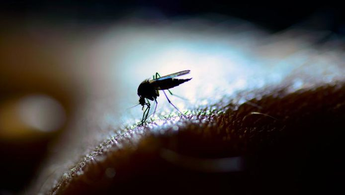 Les moustiques ne supportent pas l'odeur des géraniums