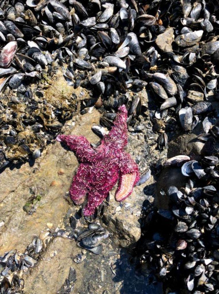 Dieren die in het getijdegebied leven – zoals zeesterren, mosselen en andere schelpdieren – zijn massaal gestorven door de hitte. Beeld Christopher Harley/UBC