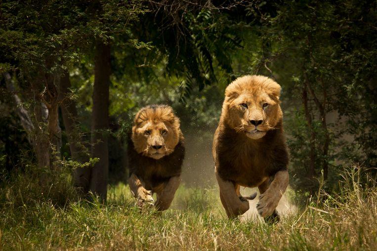 Het leefgebied van leeuwen wordt mede door de oprukkende verstedelijking steeds kleiner. Beeld Getty Images