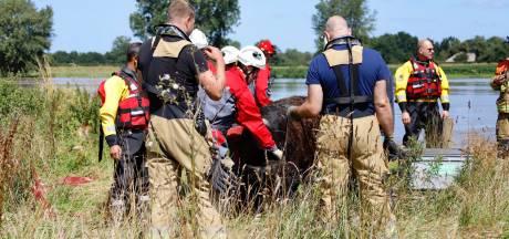'Zwemmende' koe uit Limburg die bij Escharen uit de Maas werd geplukt, is weer thuis en maakt het goed