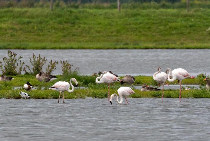 De wilde flamingo's die ze fotografeerde bij het Gasthuisbevang in Zierikzee