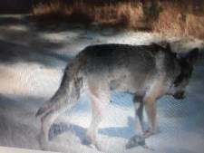 Belgische wolvin Naya krijgt welpjes