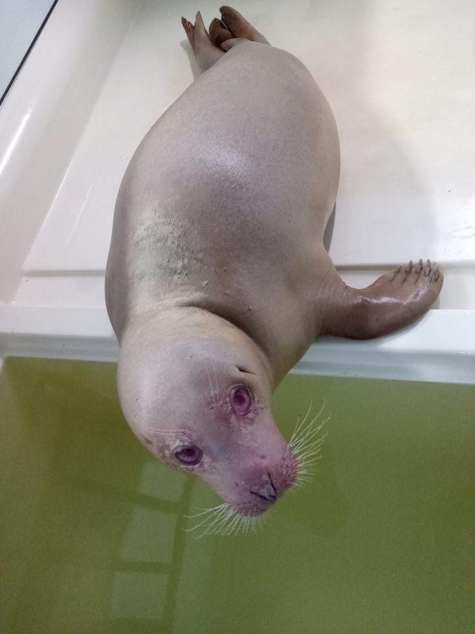 Snow White bij zeehondenopvangcentrum A Seal in Stellendam.