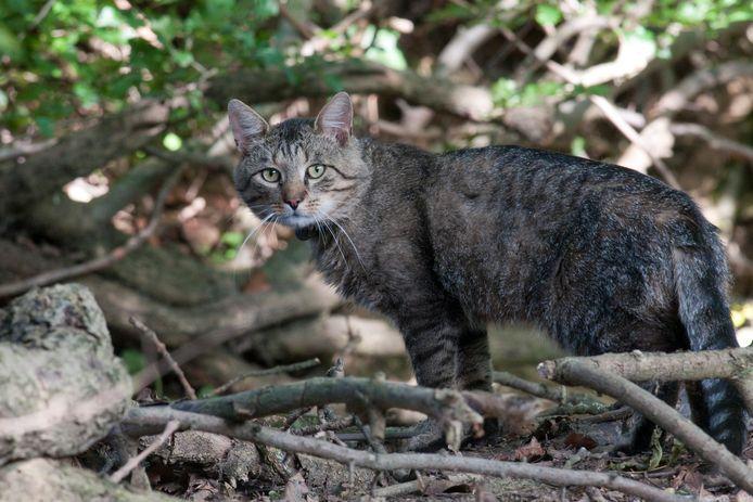 Een kat op jacht bij een patrijsnest. Foto ter illustratie.