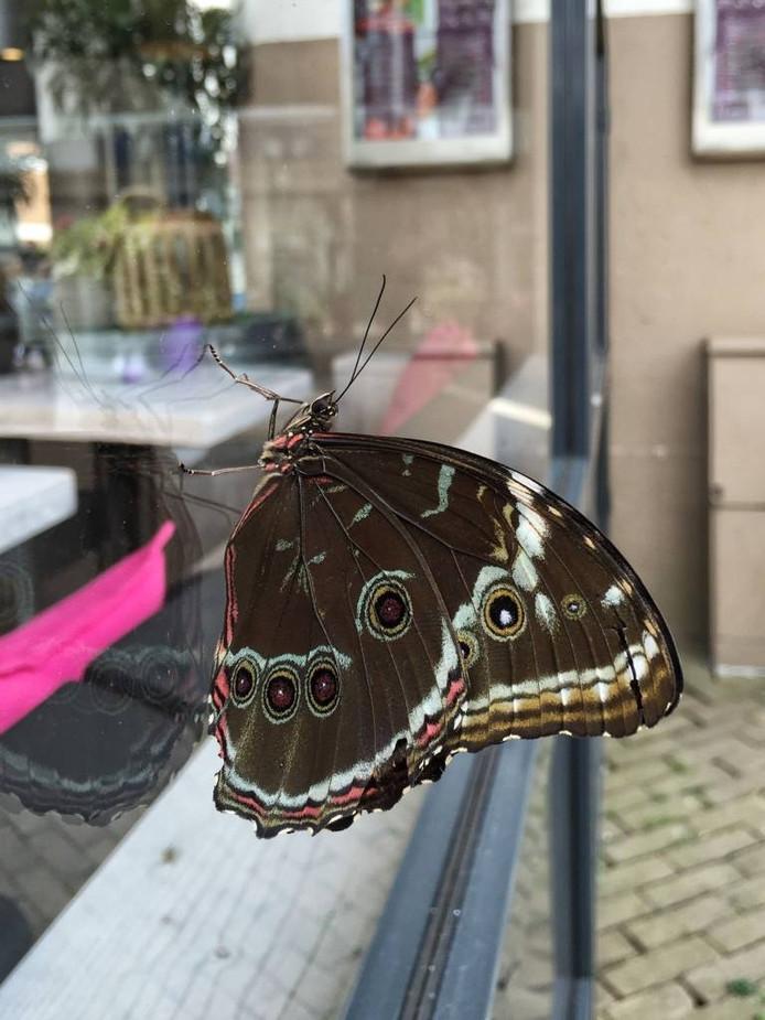 Een Morpho Peleides op het Raadhuisplein in Apeldoorn. Foto Janine Vonk