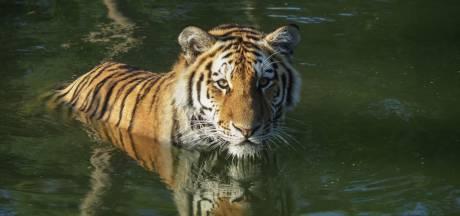 AquaZoo Leeuwarden verwelkomt eind dit jaar twee Siberische tijgers: zó gaat het verblijf eruit zien