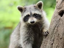 Gelderse jagers mogen ongewenste wasberen vanaf volgend jaar afschieten