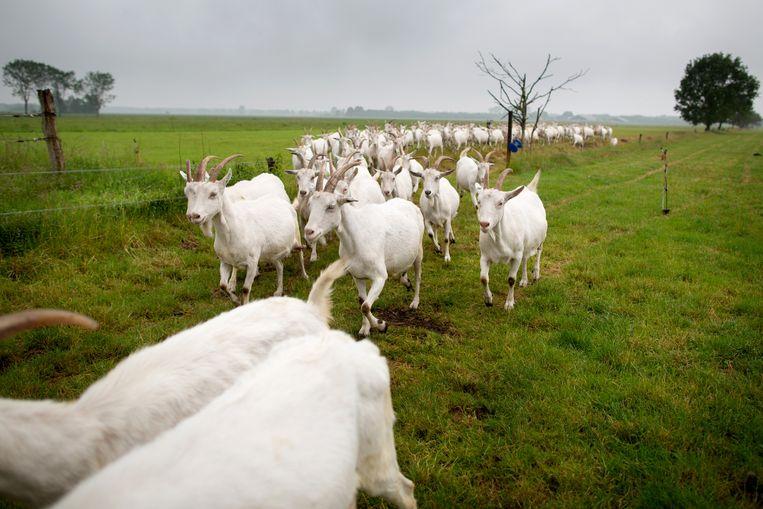 De geiten van Hansketien stormen naar binnen zodra  ze het natte gras gevoeld hebben: het regent! Beeld Herman Engbers