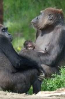 Voor het eerst babygorilla geboren in Beekse Bergen
