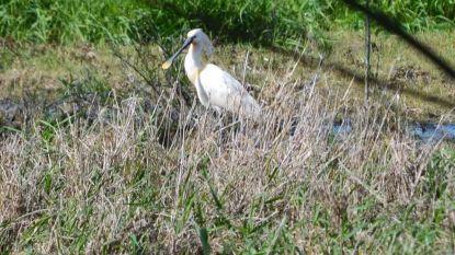 Na rode ibis nu ook lepelaar gespot in de Gentbrugse Meersen