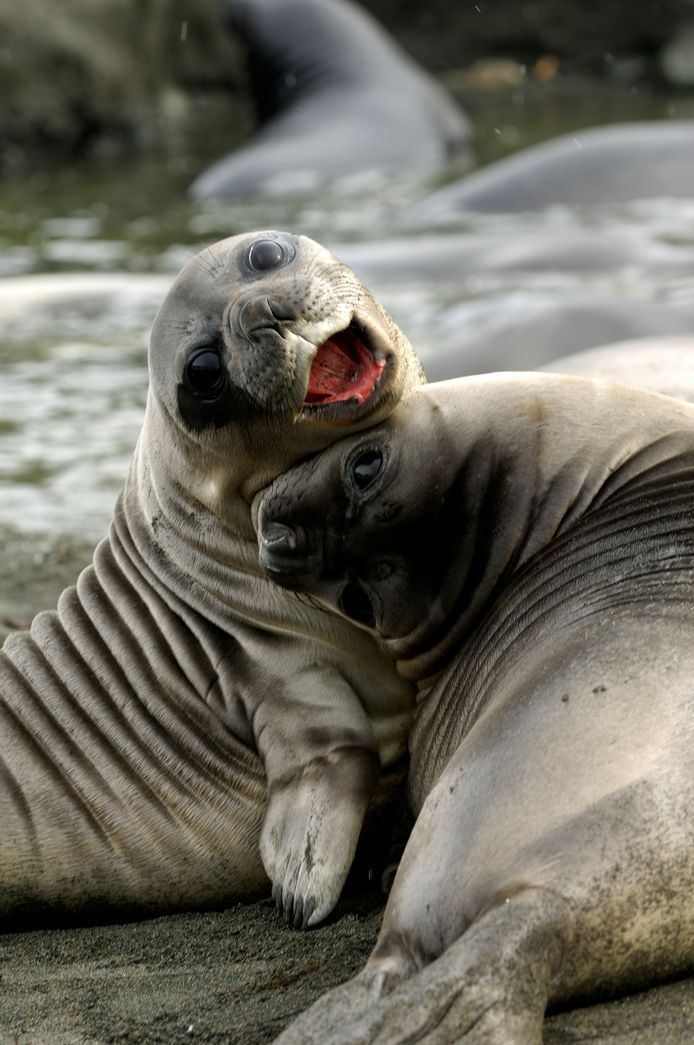 Spelende zeehonden van ongeveer vier weken oud.