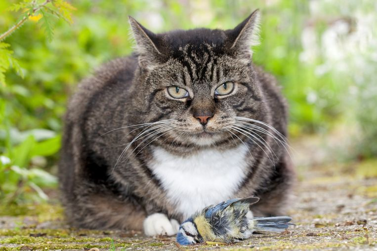 Een huiskat met een gevangen pimpelmees. Beeld buiten beeld