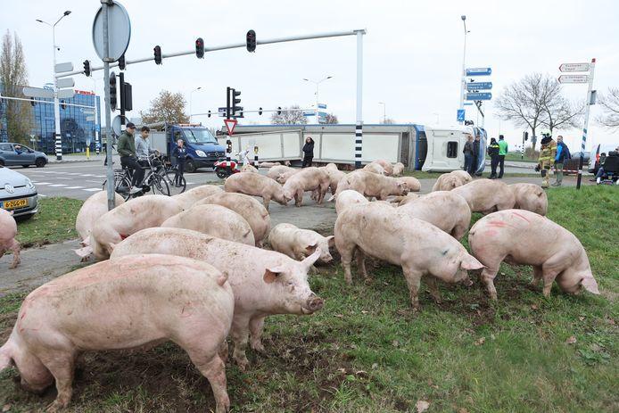 De varkens konden door Lieke en andere mensen samengebracht worden in de berm langs de weg