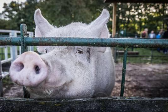 Ook varken Mona komt piepen.