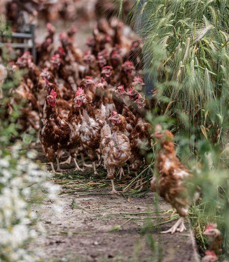 Kippen eindelijk weer de wei in door einde ophokplicht: 'Even wennen voor ze'