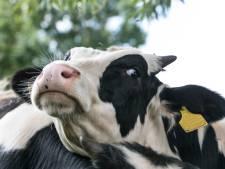 Trois vaches emportées en mer par un ouragan retrouvées vivantes... sur une île