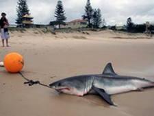 Haaien Australië nu zelf 'prooi'