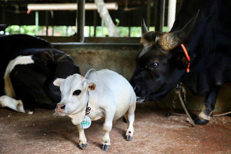 De witte dwergkoe op deze foto luistert naar de naam Rani. De eigenaar, een boer uit Nabinagar in de buurt van Dhaka in Bangladesh, hoopt dat het dier het wereldrecord voor de kleinste koe ooit op zijn naam krijgt.  Beeld REUTERS
