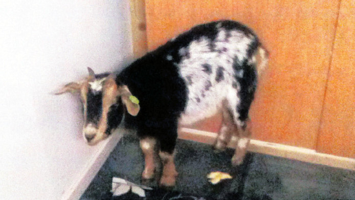 Het gevonden geitje krijgt even onderdak bij een van de kampbewoners op de IBB-laan.