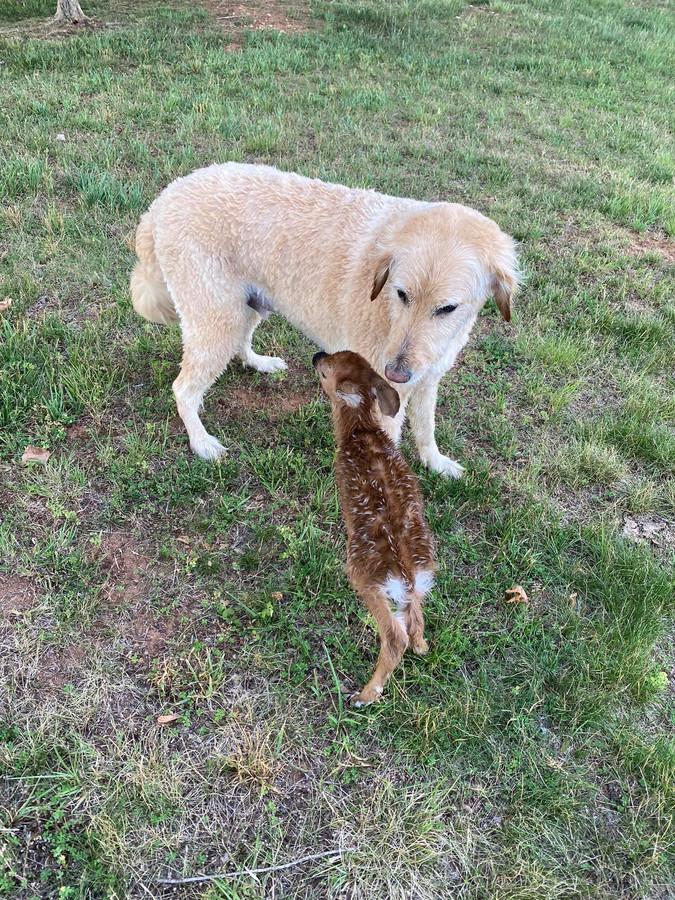 Le Goldendoodle Harley et le jeune faon rescapé.