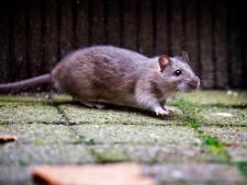 Help! Moerwijk is luilekkerland voor 'ratten zo groot als katten'