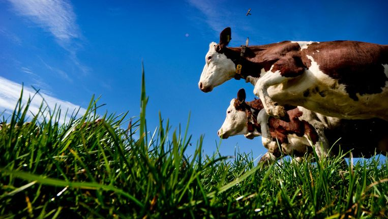 Koeien van een biologische veehouder zijn blij dat ze na de winter weer de wei in mogen. Beeld anp