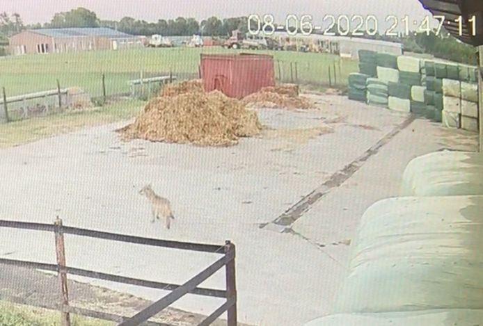 De wolf die afgelopen weekend twee schapen doodbeet in Duffel dook nu op aan de Zuuthoeve in Lier.