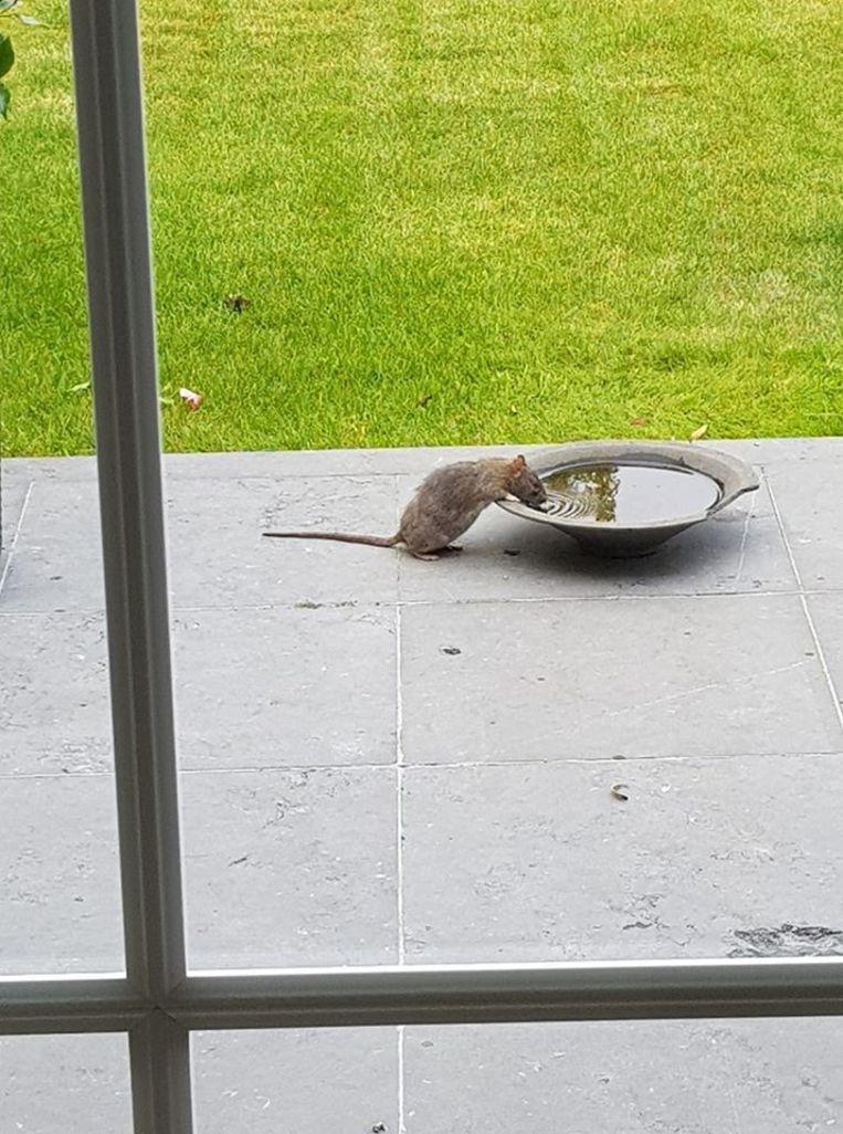 Bij Zoerselaar Marc van Overveld uit de Groenlaan kwam zelfs een rat op klaarlichte dag drinken uit het drinkbakje voor vogels