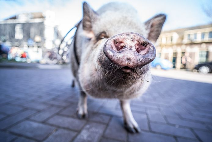 Knuffelvarken Freule uit Klarendal loopt naar de winkel om daar aan de brievenbus te klepperen voor eten.