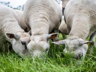 Zestiger verwaarloost 13 schapen: boete van 2.000 euro dreigt