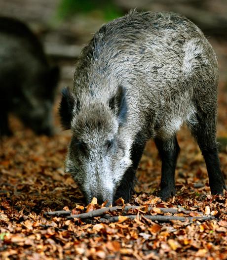 CDA Overijssel wil regeling na schade door wilde zwijnen